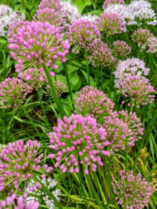 Since most alliums multiply naturally, they can be left untouched in the same area for years. These late summer alliums will bloom through the month.