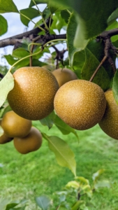 I planted several types of Asian pear, Pyrus pyrifolia, which is native to East Asia. My trees include Hosui, Niitaka, Shinko, and Shinseiko. Asian pears have a high water content and a crisp, grainy texture, which is very different from the European varieties. They are most commonly served raw and peeled. Some of these are ready for picking.