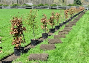 Here, you can see many of the trees lined up. The leaves of beech trees do not typically fall in autumn and instead remain on the tree until the spring when new, green leaves appear. The sod was also removed from the planting area and reused elsewhere.