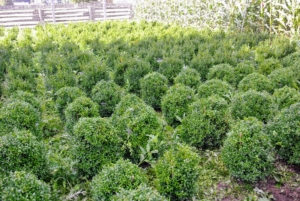 The boxwood we used had been growing in this patch for about three years. Finally they were ready to transplant to their more permanent spots under the pergola.