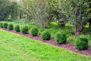These were some of the first ones planted. Boxwood can grow in full sun and partial shade.