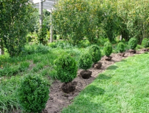 Every boxwood was positioned perfectly, two-feet apart from the next. The best time to plant boxwood is during the fall. These plants need well-drained, alkaline soil that contains organic matter.