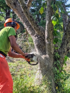 """Pasang is an excellent pruner – he's had a lot of experience with trees. Here he is using the chainsaw to cut down an old tree. Whenever using any of the tools, each crew member """"suits up"""" with safe protective gear for the head, face, and legs. Safety is of the utmost importance."""