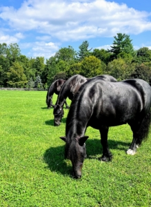 My Friesian horses, Fell pony, and my five donkeys get turned out into their paddocks every day, so it is important to maintain the fences and ensure they are all in good condition. This photo of Banchunch, Rinze, and Bond was taken by my stable manager, Helen Peparo.