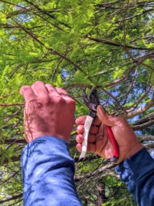 Pasang uses pruners to also cut small dead branches on the bald cypress tree. Pruners can cut branches and twigs up to ¾ of an inch thick.