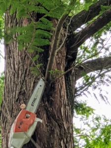 Here, Pasang uses the telescoping pole pruner to prune high branches. These tools can cut branches up to 16 feet above the ground.