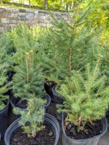I also have evergreens such as these spruce trees. Its needles are four-sided, sharp, and stiff, and are arranged spirally on the twigs and become pleasant smelling with age.