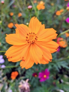 """This is the classic """"sulphur"""" or """"orange"""" cosmo - a vigorous, resilient, and colorful flower that attracts bees, birds, and butterflies."""
