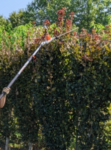 Here, Ryan uses the telescoping hedge trimmer to lop off the top of the beech hedge around my pool.