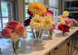 I often place cut flower arrangements here on my servery counter – the color combinations look so pretty in these glass vessels. When arranging, always strip off all the leaves that would be below the water line in the vase. This is true for all flower arrangements, not just dahlias. When leaves stay underwater, they decay and release bacteria that shorten the vase life of the flowers. And change the water daily so they look fresh and last longer.