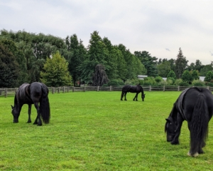 Here are Rinze, Bond, and Banchunch grazing in the paddock. I take very good care of all the horses. They are seen regularly by a veterinarian, an equine dentist, and the farrier. I also make sure they are well monitored in between check-ups - this means keeping track of their normal behaviors and vital signs. Taking a horse's temperature, pulse, and respiration, or TPR, can provide valuable information about a horse's general state of well-being. It's a quick and easy way to determine how the animal is feeling.