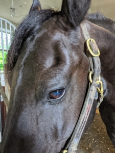 """""""The 'dent' above the eye is called the supraorbital fossa. It normally just contains fat tissue. It can also give a rough indication of the condition of the horse. Horses in poor condition tend to have bigger 'dents' and conversely, fat horses have less of a dent or no dent at all. Bond is in excellent health and condition."""