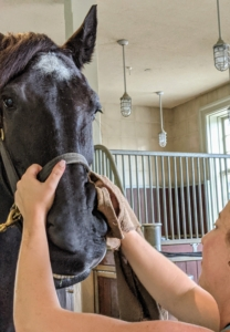 A horse's face should always be kept as clean as possible also. The face and nose are often moist, making it very easy for dirt and mucus to build up. After grooming, all of Rinze's vitals are taken the same way as the others. I am happy to report that all the boys are doing great.