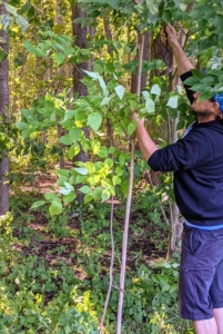 Here, Ryan is securing a kousa dogwood tree that was found toppled over after the storm. These young specimens are still quite fragile and need the support of bamboo uprights until it is older and more developed.