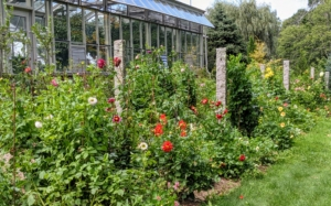 This year, we grew our dahlias in a bed behind my vegetable greenhouse. This location gets great sun. Dahlias grow more blooms when they get at least six to eight hours of direct sunlight per day. And because this spot is behind this large structure, it is also protected from strong winds.