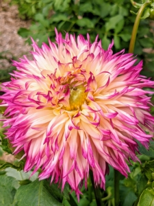 Dahlias are named after 18th-century Swedish botanist Anders Dahl. He actually categorized dahlias as a vegetable because of their edible tubers. The tubers are said to taste like a mix between potatoes and radishes.