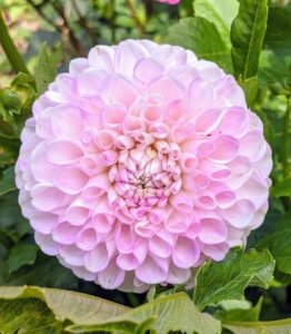 The array of flower colors, sizes, and shapes is astounding. Dahlias come in white, shades of pink, red, yellow, orange, shades of purple, and various combinations of these colors – every color but true blue. In the 19th century, a London newspaper offered a pound, or a little more than a dollar, to the first breeder to create a blue dahlia—the reward was never claimed, but there have been many attempts that are near-blue. Like many flower varieties, there is also no pure black variety—only dark red and dark purple. This one is a soft pink.