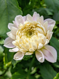 Dahlias thrive in rich, well-drained soil with a pH level of 6.5 to 7.0 and slightly acidic.