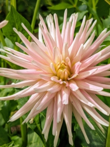 This is a cactus dahlia with its beautiful 'spiny' petals rolled up along more than two-thirds of their length. Dahlias are herbaceous perennials, but typically grown as an annual.