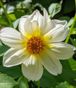 This is a single dahlia with just one row of petals surrounding the center disc. They range from a charming single, daisy-like flower to the popular double varieties which can range from the two-inch-pompons to 12-inch dinner plate size. They are divided into 10 groups: single, anemone, collarette, waterlily, decorative, fall, pompon, cactus, semi-cactus, and miscellaneous.