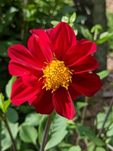 The majority of dahlia species do not produce scented flowers or cultivars, but they are brightly colored to attract pollinating insects.