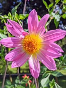 Dahlias are classified according to flower shape and petal arrangement. Here in New York, by the end of August, the flowers start to burst open with such beautiful blooms just as others have sadly past their prime.