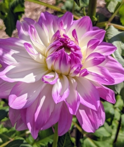This dahlia is a special mix of white and soft lavender. The flower is upward-facing and borne on long, strong stems. The genus Dahlia is native to the high plains of Mexico. Some species can be found in Guatemala, Honduras, Nicaragua, El Salvador & Costa Rica as well as parts of South America where it was introduced.