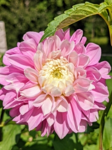 This gorgeous dahlia is medium pink with a bright white center.