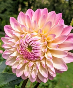 Dahlias are very attractive to bees and hummingbirds.