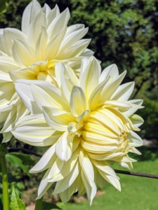 Dahlias produce an abundance of wonderful flowers throughout early summer and again in late summer until the first frost. This large bloom is a beautiful creamy white with a hint of yellow in the center.
