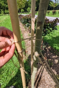 Because these trees are in the field, they are exposed to all the winds that blow through the area. Foe extra security, a third stake - here, a tall bamboo stake, is placed closer to each tree and behind it between the two wooden stakes.
