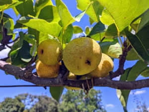 """Last year, we planted six 'Shinseiki' and four 'Nijisseiki' pear trees. 'Shinseiki' Asian pear means """"new century"""" and was developed from two of the best Asian pears of the 1940s. The 'Shinseiki' Asian pear is round, medium to large, yellow smooth-skinned fruit with little or no russet. It has crisp, creamy white flesh, and a mild, sweet flavor. The 'Nijisseiki' pear, or the 20th Century Asian pear as it is often called, is incredibly delicious, easy to grow, and smells just like a pear, but, like an apple, the outside of the fruit is crisp, firm, and round."""