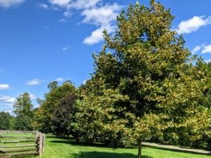 Here is a grove of American beech trees - they are already beginning to show a little fall color.