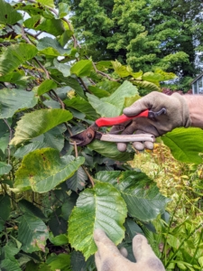 Here, Ryan uses the pruners to cut unwanted branches from this camperdown elm tree outside my main greenhouse.