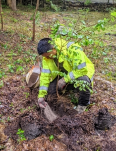 Pasang then loosens the roots and places the tree into the hole along with a good scoop of appropriate fertilizer.