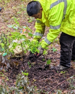 """Then he backfills the hole making sure it is still """"bare to the flare."""" Pasang looks for the root collar or root flare – the bulge just above the root system where the roots begin to branch away from the trunk. The root flare should be just above the soil surface."""