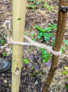 Chhiring carefully secures each tree to its designated stake using the same figure eight formation and knot I taught every crew member. This prevents the twine from chocking the tree as it grows.
