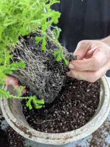 In this pot, Ryan is planting Selaginella kraussiana - a species of vascular plant in the family Selaginellaceae. It is referred to by the common names Krauss' spikemoss, Krauss's clubmoss, or African clubmoss, and is found naturally in the Azores and parts of mainland Africa. I brought home spike moss as well as this trailing variety of spike moss, 'Aurea.'