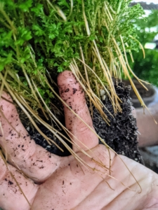 Unlike other moss, spike moss has a more traditional root structure and can sprout roots from its stems.