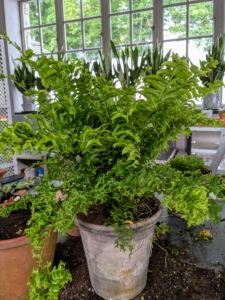 This plant does best with exposure to shade or dimmed light.