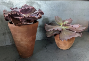 I'm always on the lookout for new and unusual houseplants to add to my collection. These are Echeveria 'The Rose' - ruffled Echeveria in a beautiful rosewood pink color.