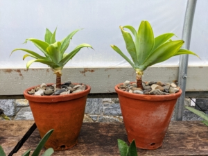 Ryan also potted up two agave attenuatas. When young, the evergreen plant grows in whorls of enormous, soft-textured silver-grey leaves. As they grow older their stems can grow as high as four feet.