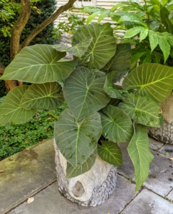 This an interesting colocasia - not to be confused with the alocasia. Alocasia leaves are very glossy or waxy in appearance with prominent veins. They are more arrow-shaped or heart-shaped; while Colocasia has matte green leaves and the leaves are more or less round in shape.