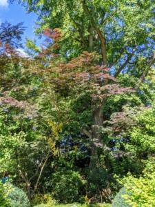 I have two of these gorgeous trees growing beneath the large ginkgo tree in my Summer House garden. The chocolate mimosa tree is a fast-growing, deciduous tree with a wide, umbrella-shaped canopy.