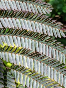 These are the beautiful deep-colored leaves of the chocolate mimosa tree. These leaves are bronze-green, fern-like leaves that appear in late spring and then become a deeper rich chocolate-burgundy color in summer.