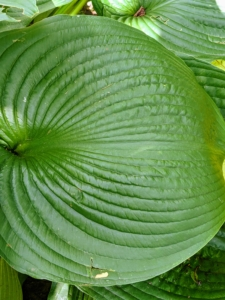 In the back of the garden, I also have these large leaf hostas. Hostas are a perennial favorite among gardeners. The lush green foliage varying in leaf shape, size and texture, and their easy care requirements make them ideal for many areas. Hosta is a genus of plants commonly known as hostas, plantain lilies and occasionally by the Japanese name, giboshi. They are native to northeast Asia and include hundreds of different cultivars.