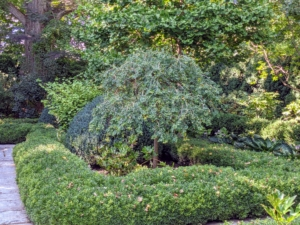 In this garden, I also have six weeping Siberian pea shrubs with cascading weeping branches that bear pinnately compound leaves.