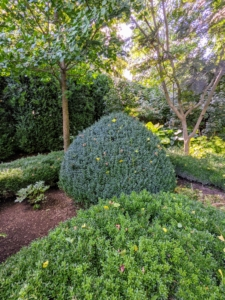 I also have these boxwood shrubs. Boxwood is naturally a round or oval shaped shrub that can reach up to 15 feet in height. I love the tapered tops.