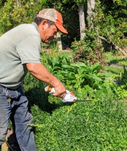 And here is Phurba yesterday - the boxwood is nearly waist high. To groom the tops and sides, Phurba uses a STIHL HSA 25 Battery-Powered Garden Shear. The hedge shear attachment with double-sided cutting blades cuts in both directions. It's one of our favorite tools – it's very light and handy.