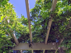In the center and at the ends of this winding pergola are wisteria standards. Looking up, one can see its vines mixed in with the climbing vines of my beautiful Rosa 'Veilchenblau' - the violet rambler also known as 'Bleu-Violet', 'Blue Rambler', 'Blue Rosalie' and 'Violet Blue' that blooms from May to June.